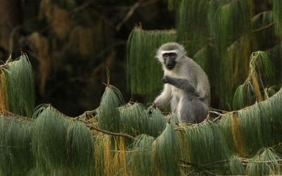 A female vervet monkey eats in South Africa