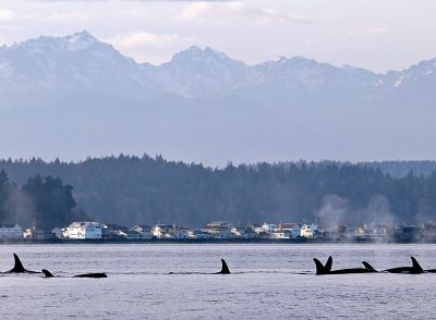 Orcas from pod J in Puget Sound just west of Seattle