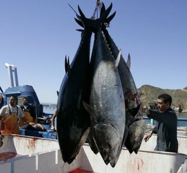 workers harvesting bluefin tuna from Maricultura's tuna pens near Ensenada, Mexico