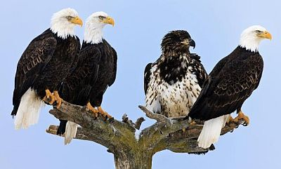Four Bald Eagles perched on a tree in Kachemak Bay in Alaska's Kenai Peninsula