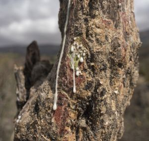 sap runs out of a frankincense tree near Mader Moge, Somaliland
