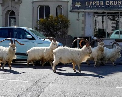 goats get run of town while humans are away