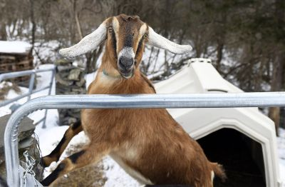 "Lincoln, a Nubian goat, who was ""Pet Mayor"" for the town of Fair Haven, Vermont"