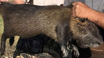 nutria A giant 20-pound rodent with the ability to destroy roads, levees and wetlands