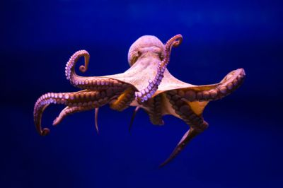 Meet your new friend the octopus