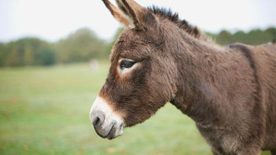 A GROUP of teenagers have been treated for rabies after they gang-raped a donkey