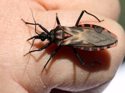 A species of triatomine bugs that can spread Chagas disease