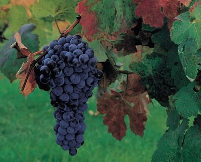lush wine grapes